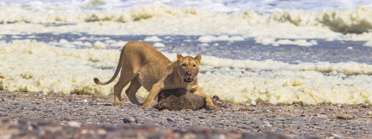 Partage en namibie le lion du desert chasse les phoques et les oiseaux de mer pour survivre